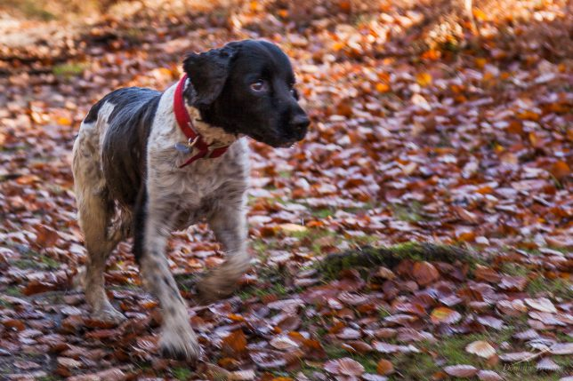 Black and white dog wearing a red collar running through autumn leaves