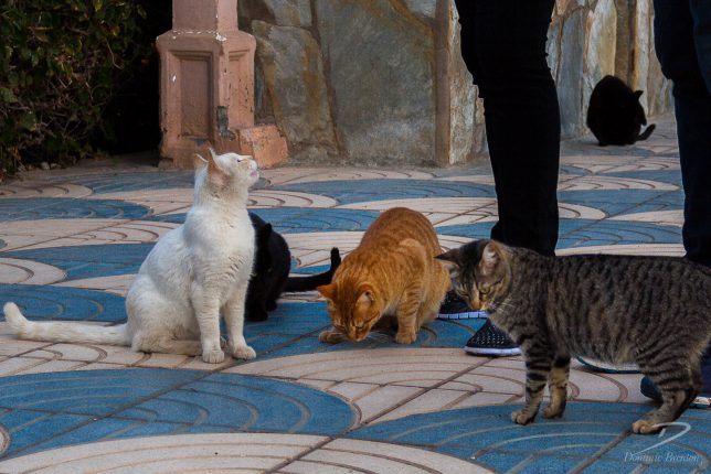 White, ginger and tabby cats begging for food on blue and white paving.